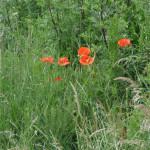 Czerwone kwiatki