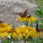Motyle i pszczoły na kwiatach mleczu