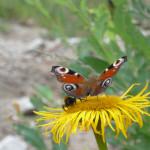 Motyl z pszczołą na kwiecie mleczu