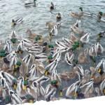 Stado dzikich kaczek