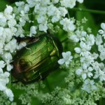 Zielony chrabąszcz